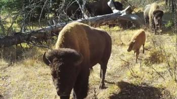 Banff Bison 2020