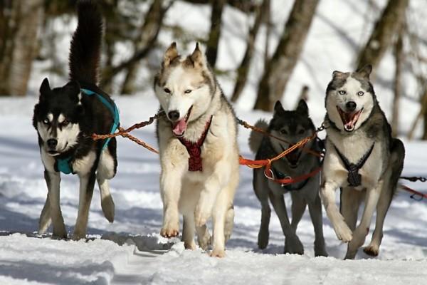 14 Dog Sledding