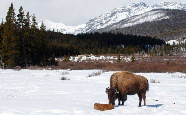 Banff Bison Calving