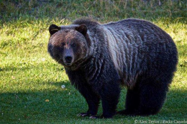 Grizzly Bear 148 2